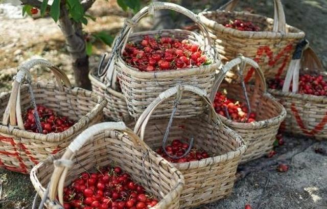 Colher cerejas