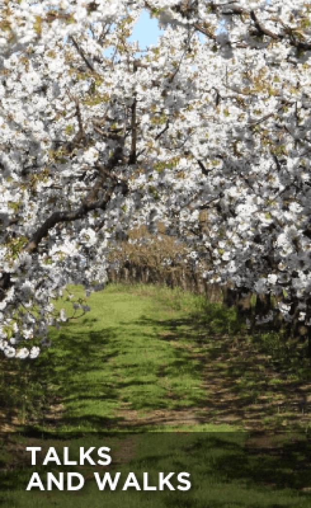 Talks and Walks - Cherry Trees